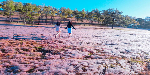 Đồi cỏ hồng Đà Lạt ở đâu