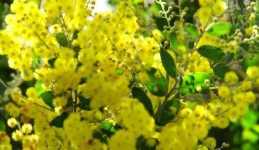 Mùa Hoa Mimosa Đà Lạt