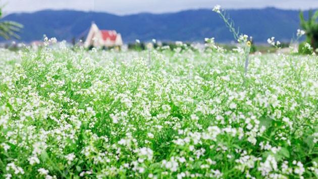 Kết quả hình ảnh cho vườn hoa cải trắng