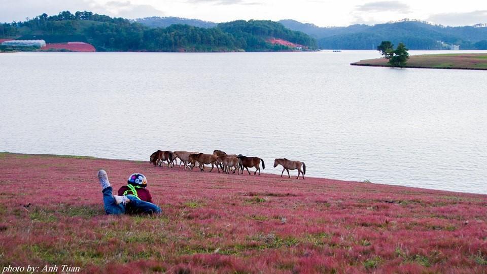 Đồi cỏ hồng Đà Lạt thung lũng vàng