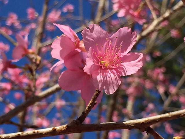 Hoa mai anh đào Nhật Bản