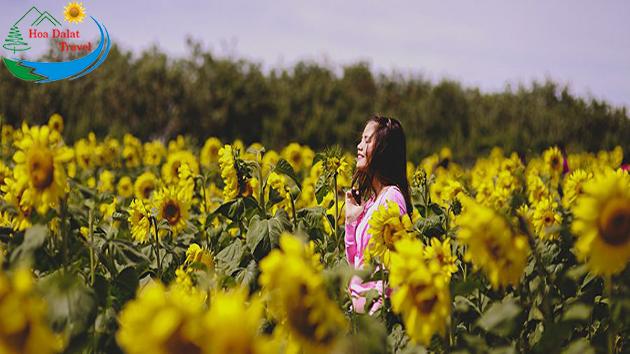 Cánh Đồng Hoa Hướng Dương Đà Lạt Tháng 6