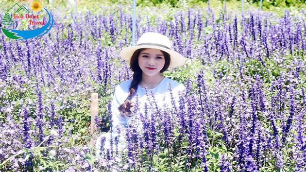 Cánh Đồng Hoa Lavender Đà Lạt Tháng 6
